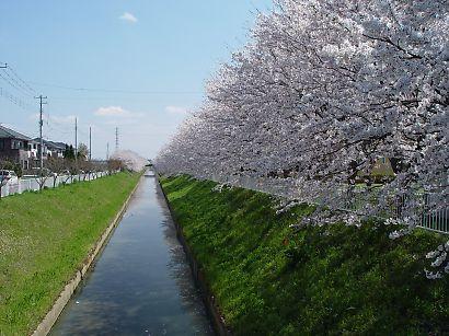 日本民歌 樱花